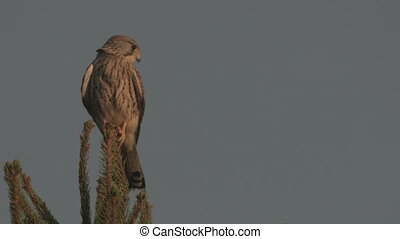 kestrel on a tree