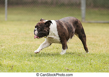 Brindle bulldog mix plays in a dog park in summer.