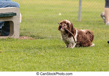 Lhasa Apso dog mix plays with a stick in a dog park in...
