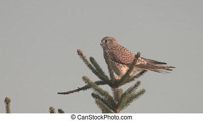 kestrel on a tree