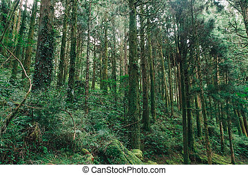 forest in Alishan taiwan,taichung