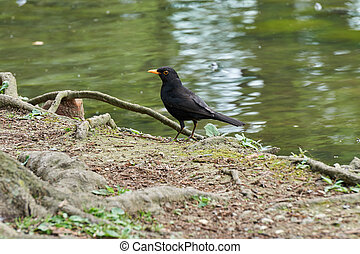 blackbird walks by the lake