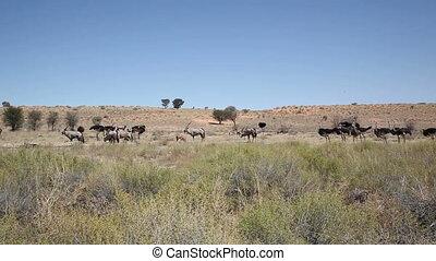 Gemsbuck and Ostriches Landscape - Gemsbuck and Ostriches...