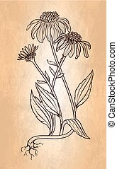 Echinacea flower vintage style illustration