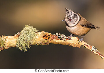 Close up of a Crested Tit (Lophophanes cristatus) on a...