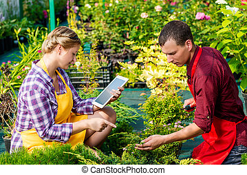 Couple of gardeners at work on a plantation in a greenhouse