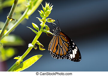 Common tiger butterfly perched on the leaf.