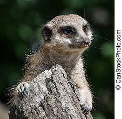 meerkat, suricate - Watching suricate. The meerkat or...