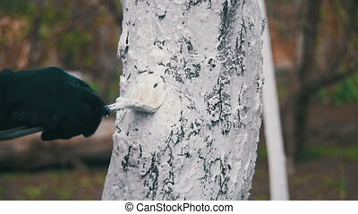 Gardener Whitewash Tree Trunk with Chalk in Garden, Tree...