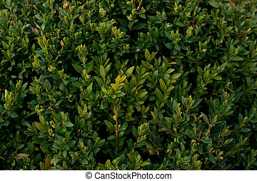 Green bush background - Buxus