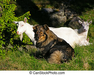 Mountain farm goats - Goats on the free maintenance, it is...