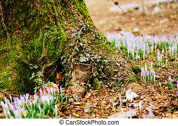 Many crocuses in the grass in the woods near the stump in...