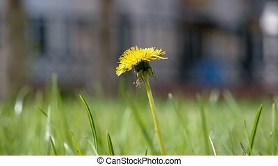 Taraxacum campylodes, yellow flower of young dandellion in lush grass macro shot low angle shot