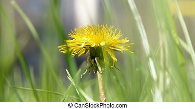 Macro shot of Taraxacum campylodes, yellow flower of young...