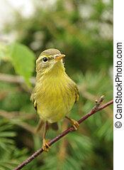 chiffchaff  - Yellow chiffchaff among foliage close up