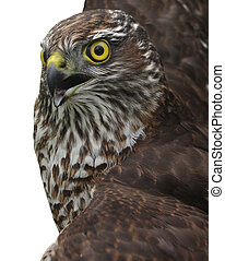 northern goshawk  largely fills a shot on a white background