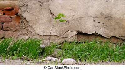 Plant or small tree and grass growing in front of aged stone wall