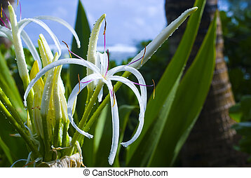 Spider Lily in Hawaii