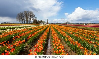 Time lapse of clouds over colorful tulips in Woodburn Or during Spring Season 4k