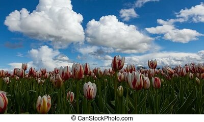 Time lapse of white clouds over tulip field in Woodburn...