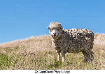 merino sheep grazing on grassy hill - New Zealand merino...