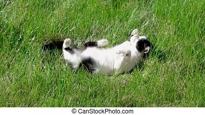 A cute pussycat relaxing on the grass in the garden,...