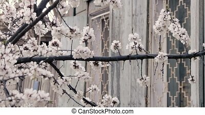 White flowers of chinese plum near with vintage wooden house...
