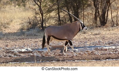 Gemsbuck finished drinking water in the Kalahari