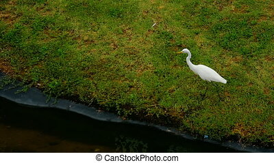 White Egret near lake