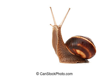 snail - funny snail ,isolated on white background