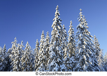 Spruces forest - Arctic spruce forest in winter