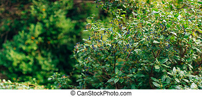 Sambucus branch on the tree. Blue berries. Flora of...