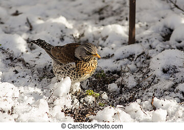 Fieldfare looks for food under the snow in the spring