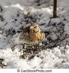 Fieldfare in the spring - Fieldfare looks for food under the...