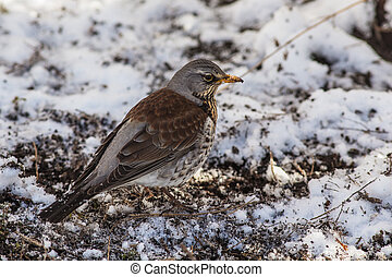 Fieldfare close up - Fieldfare looks for food under the snow...