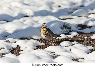 fieldfare after a snowfall - fieldfare on a sunny spring day...