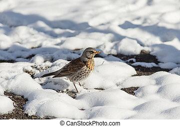 fieldfare on snow - portrait of fieldfare in spring day...