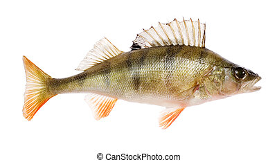 Perch Perca fluviatilis fish isolated on white