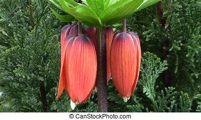 Fritillaria imperialis (crown imperial) flower in the garden...