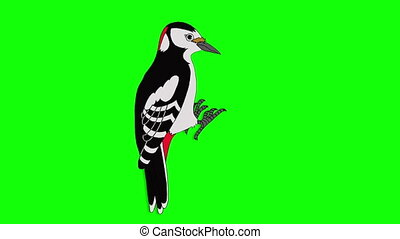 Great Spotted Woodpecker. Animated Motion Graphic Isolated...