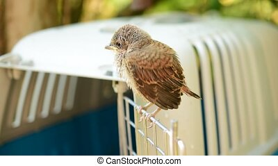 Fledgeling of whitethroat perches on door of cage -...