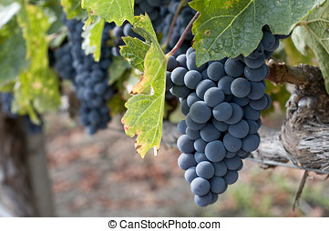 wine grapes - wine grape clusters ready for harvest, taken...