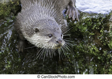 Close up of an otter - Close up of male otter on algae...