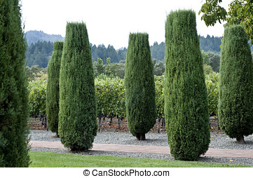 tall cone junipers - beautiful landscaped garden, walkway...