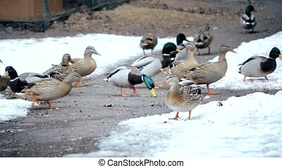 Feeding of many wild ducks in winter on snow outdoors