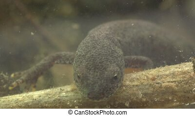 Alpine newt in a pond