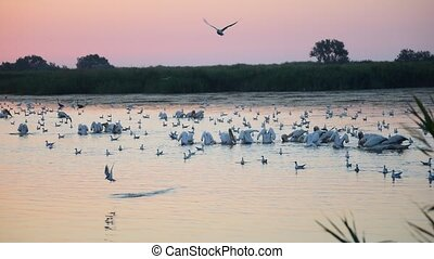 Many great white pelicans forage on water at dawn surrounded...