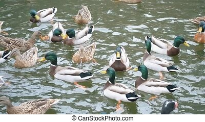 Flock of many mallards swimming quickly in a pond. - Flock...