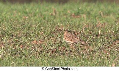 skylark - Alauda arvensis - in springtime