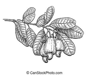 Ink sketch of cashew branch. Isolated on white background....